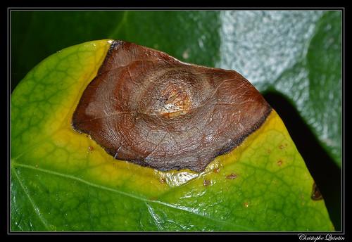 Colletotrichum trichellum sur Hedera helix