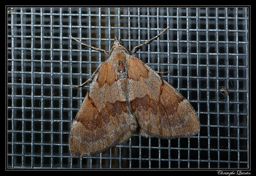 La Corythée pectinée (Pennithera firmata)