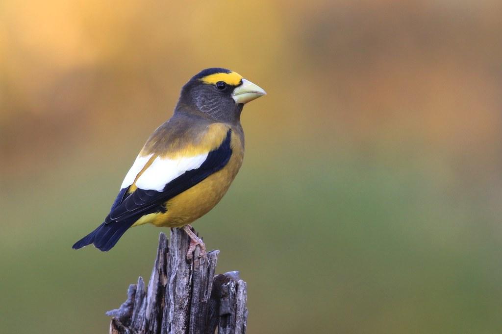 ***Evening Grosbeak  male / Gros-bec errant mâle ( Richard )