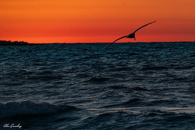 Pelican flying into the sunset