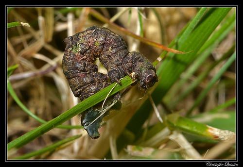Chenille de la Citronnelle rouillée (Opisthograptis luteolata)