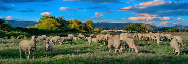 ...τὰ πρόβατα τῆς νομῆς Mου  The lambs of My herbage 7 panorama