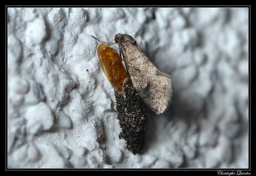 Psychidae (Dahlica sp. ?)