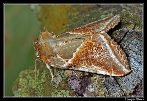 La Râtissée (Habrosyne pyritoides)