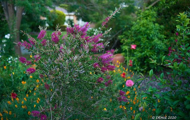 Bottlebrush flowers