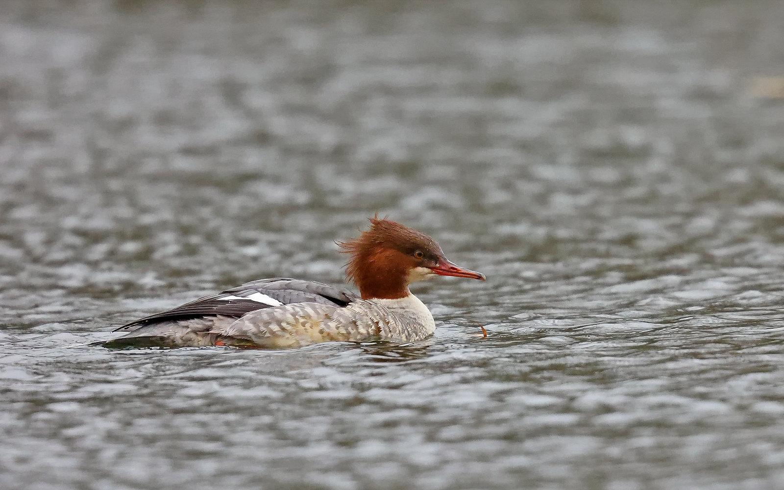 Goosander - redhead