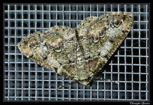 La Boarmie des lichens (Cleorodes lichenaria)