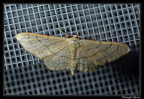 L'Acidalie blanchâtre (Idaea subsericeata)