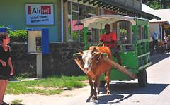 Ox cart taxi La Digue Island Seychelles