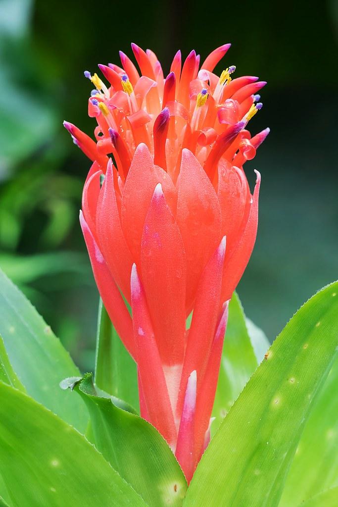Billbergia pyramidalis 1626-2; Bromeliaceae (2)