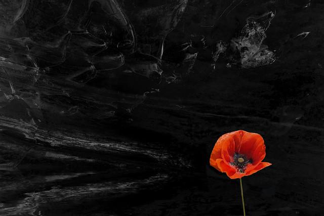 The lone poppy