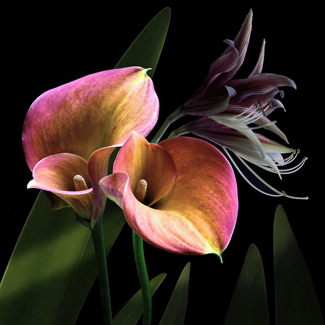 Calla & Amaryllis Lilies