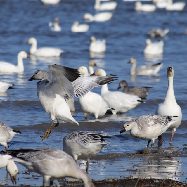 La migration des oies des neiges.