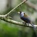 Toucan-Barbets - Semnornithidae