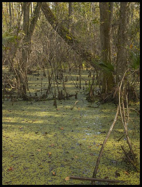 Lake Woodruff #7 2020; Cypress Swamp