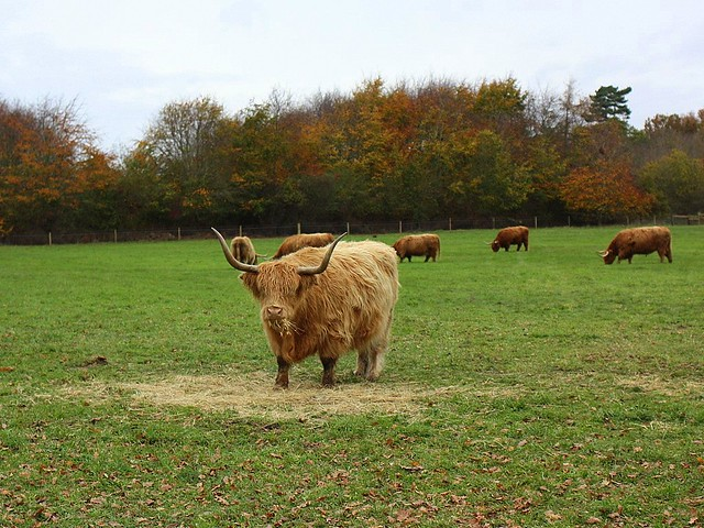 Highland Cattle at Alton Water