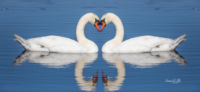 Trumpeter Swan Mirrored