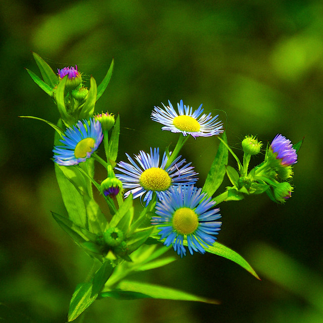 This November's Wild Asters