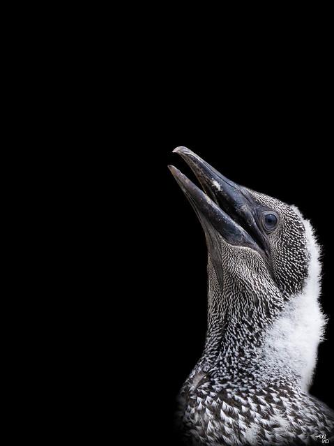 Nestling Northern Gannet - Morus Bassanus