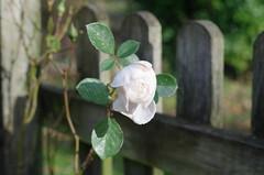 Autumn rose — Desdemona