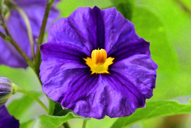 Macro view of a Blue Potato Bush flower (Solanum rantonnetii; aka Lycianthes rantonnetii)