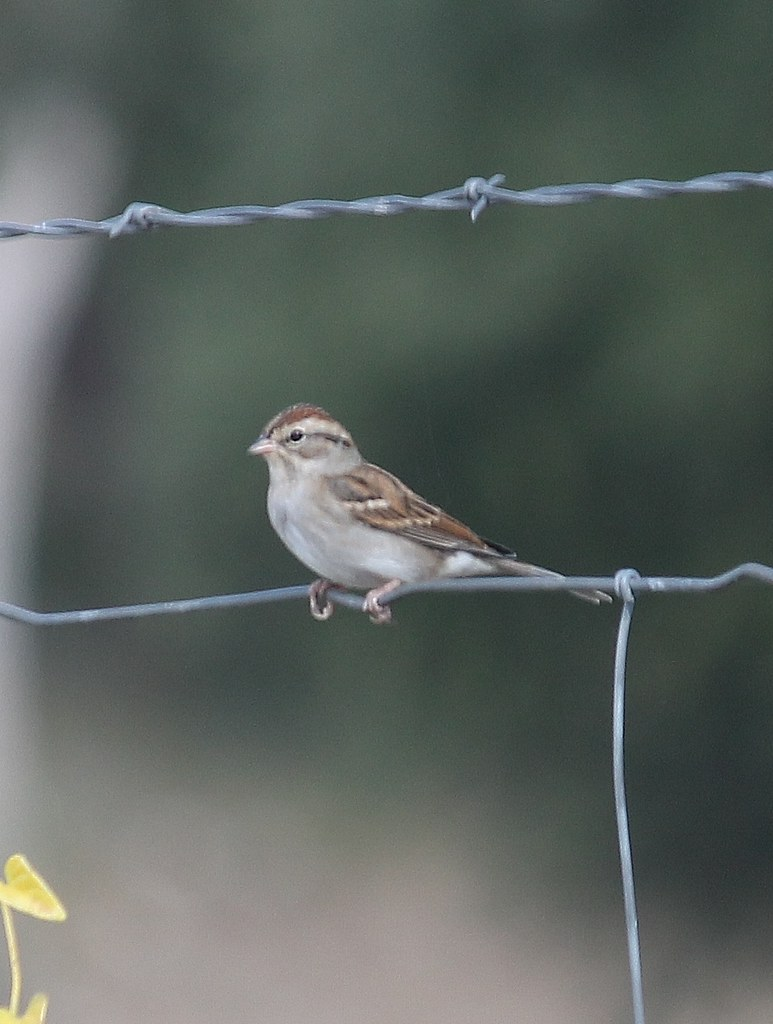 Chipping Sparrow, Spizella passerina