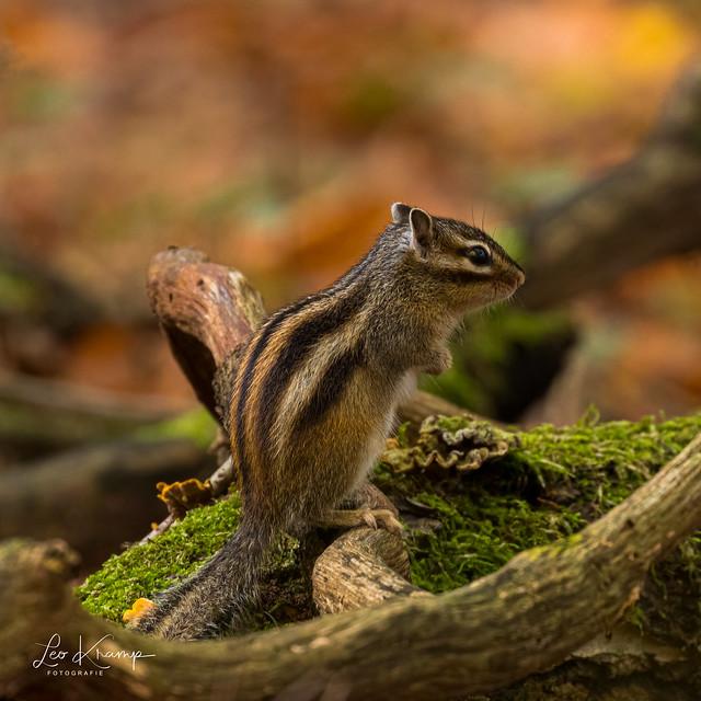 Siberian Chipmunk | Siberische grondeekhoorn