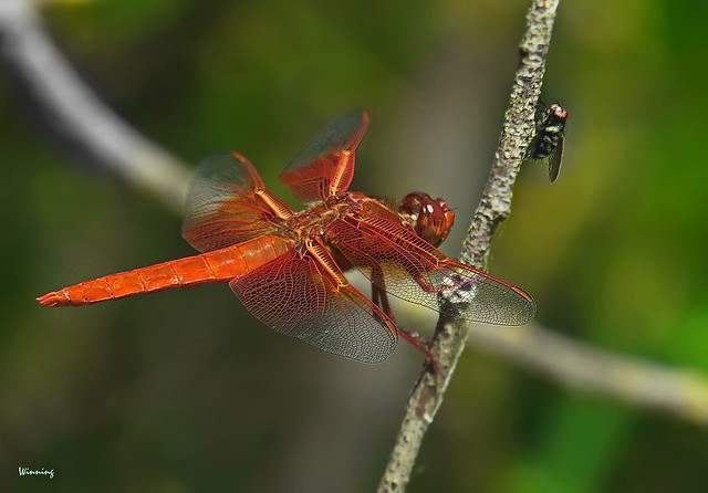 Flame Skimmer and Acquaintance 6468