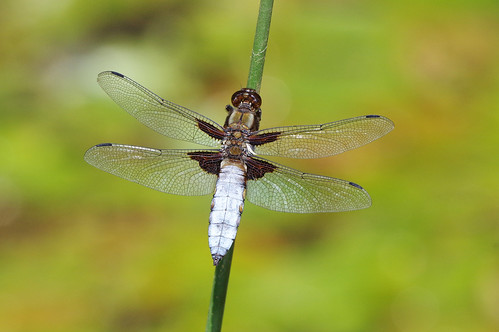 cambridgeshire libelluladepressa broadbodied chaser dragonfly insect nature wild wildlife