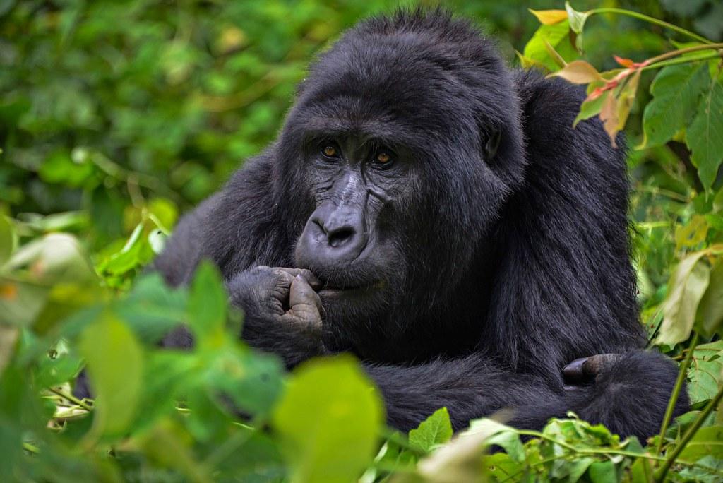 Mountain Gorilla, Bwindi
