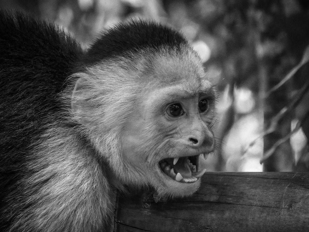 Shock the monkey... en NB 50593327333_20a87376b4_b
