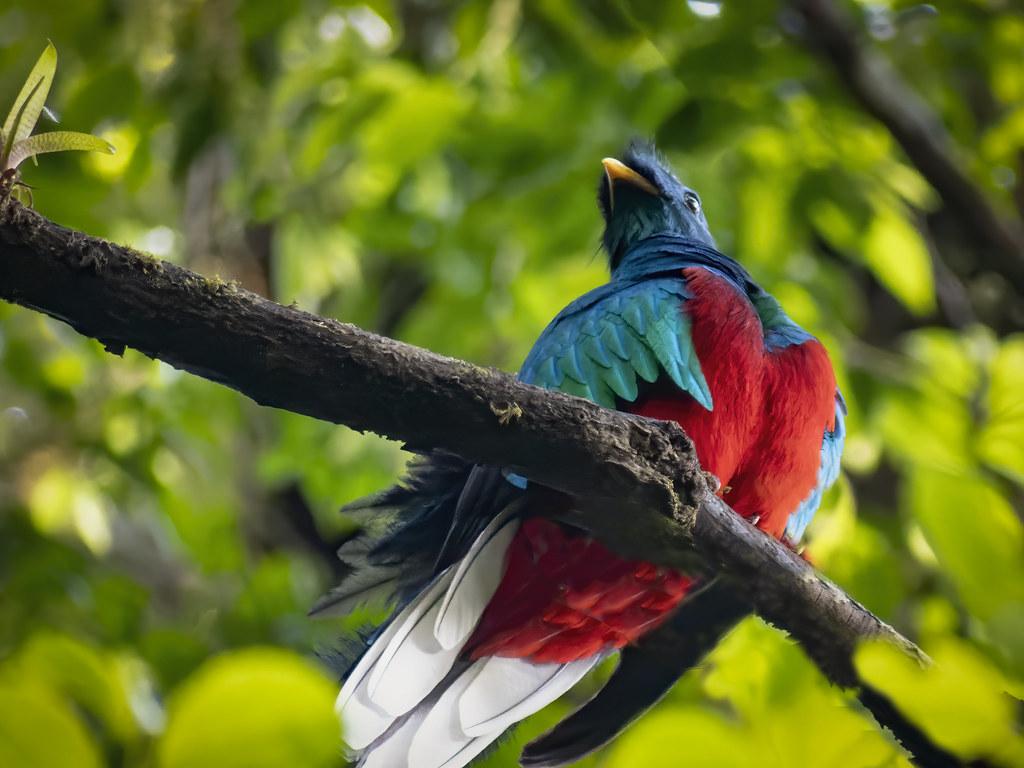 Couleurs du quetzal... + ajout 50593327503_43eb60a999_b