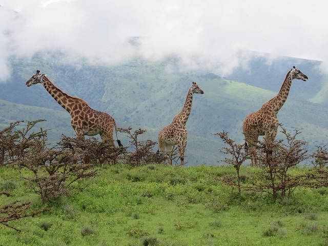 S20044 - Three Giraffes