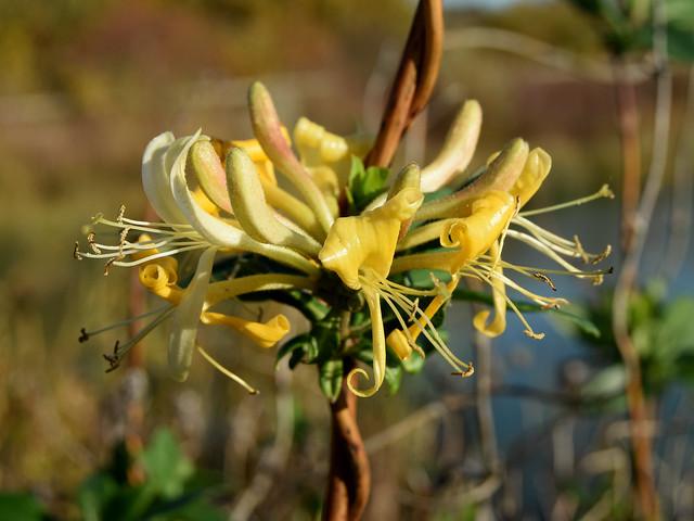 Honeysuckle, Lonicera periclymenum