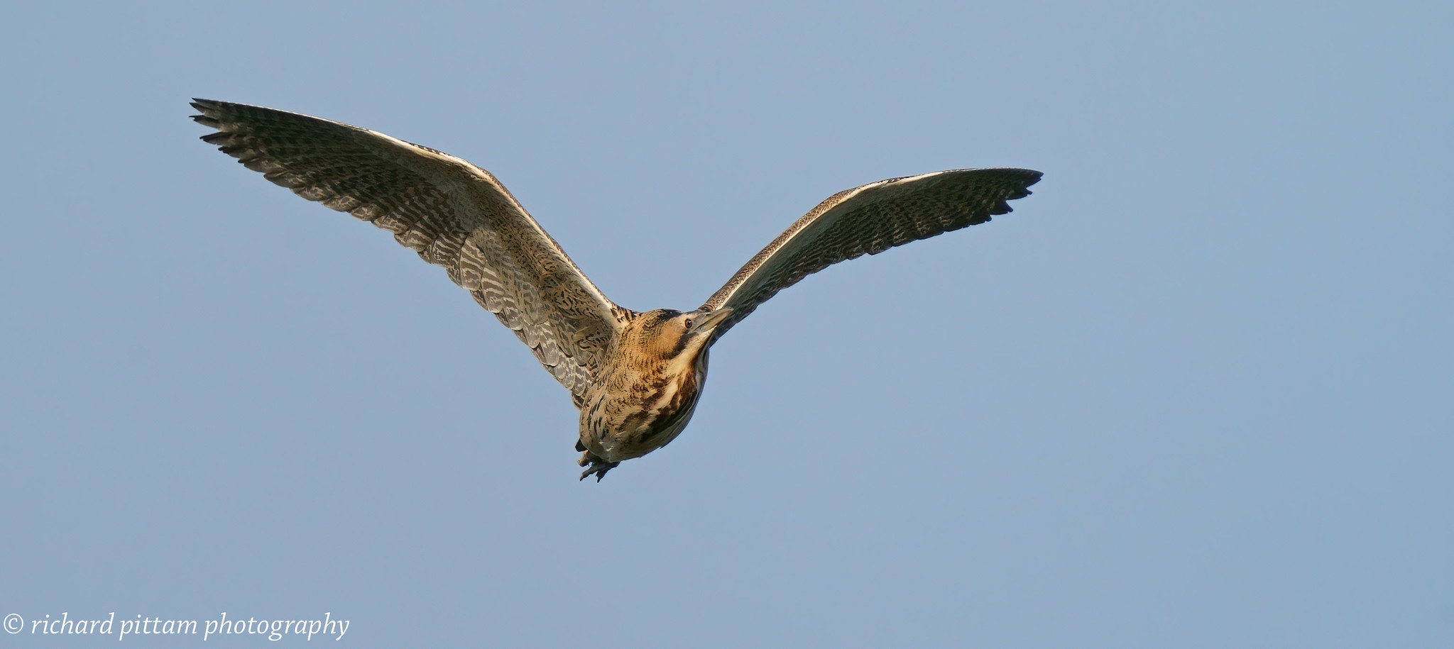 Bittern - I had a lucky 10 seconds to snatch these chance shots