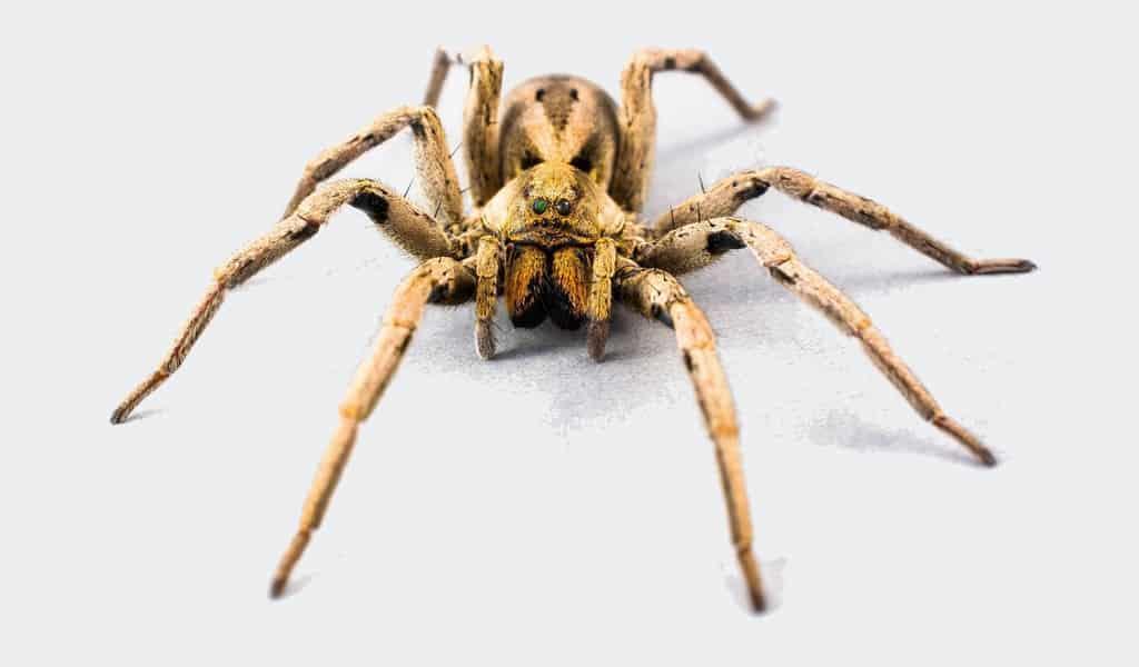 Certaines araignées mâles attachent les femelles puis s'accouplent