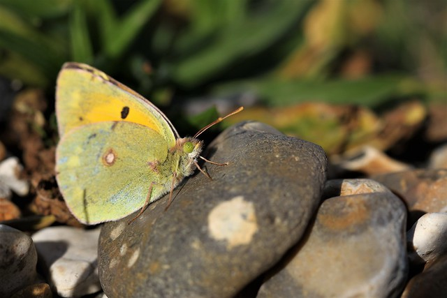 Clouded Yellow on the rocks.