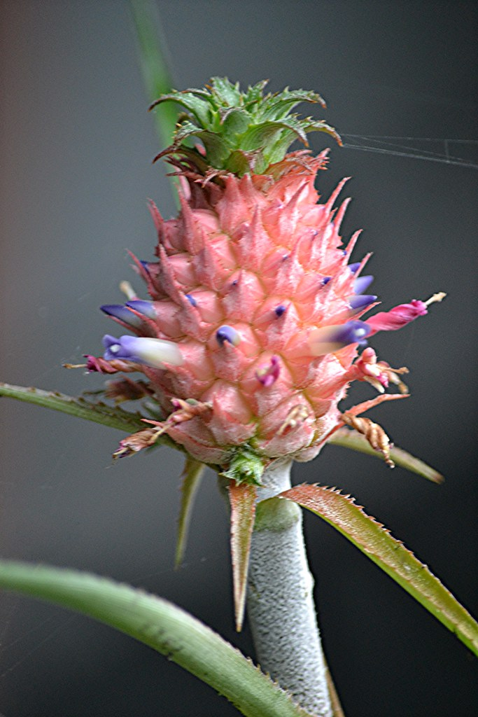 Mini Pineapple erupting in tiny pink and purple flowers