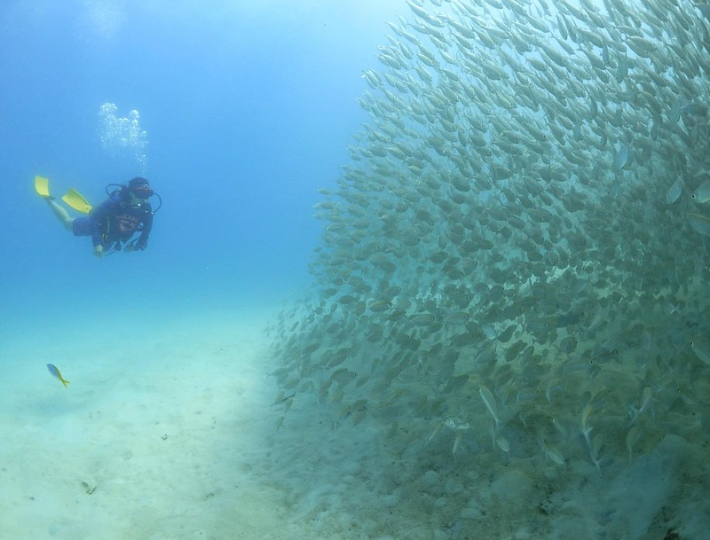 Photo of a diver watching a shoal of fish which have not been fed so are displaying natural behaviours.