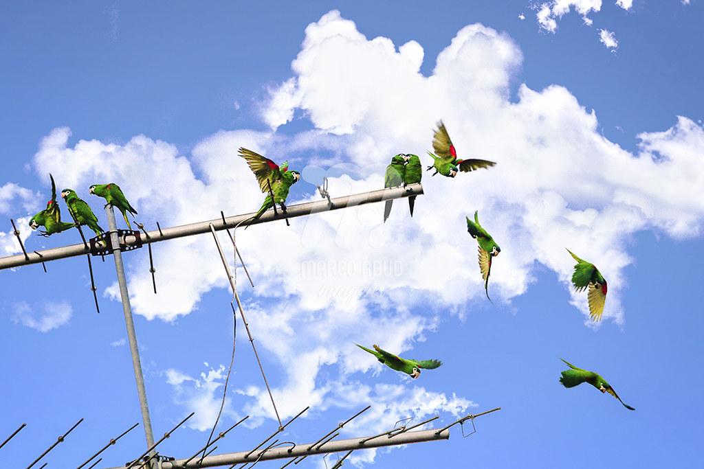 Maracanã-Pequena | Red Shouldered Macaw | Diopsitacca nobilis
