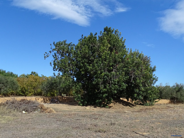 Baix Camp'20 (26-10) - Biciruta Galo de Los Campanarios-Etapa 1 Reus_la Selva 02 Reus 08 Camí del Burgar 03 La Quadra 01 Árbol 03