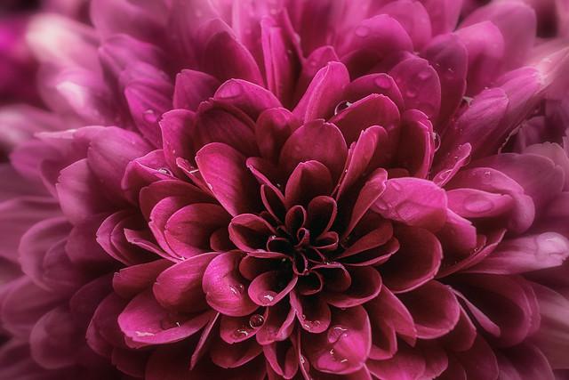 Pink Flower macro shot