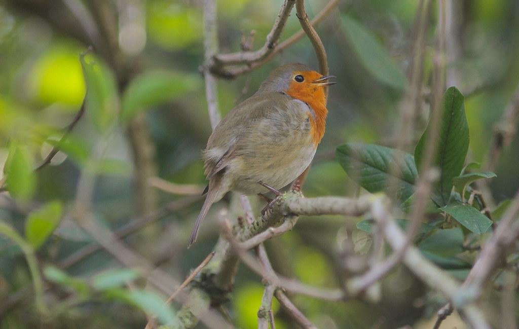 Robin's Mate