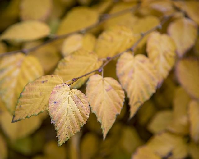 Corylopsis pauciflora, buttercup witch hazel, Bed25w
