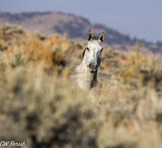 America's Living Legends: Wild Horses and Burros