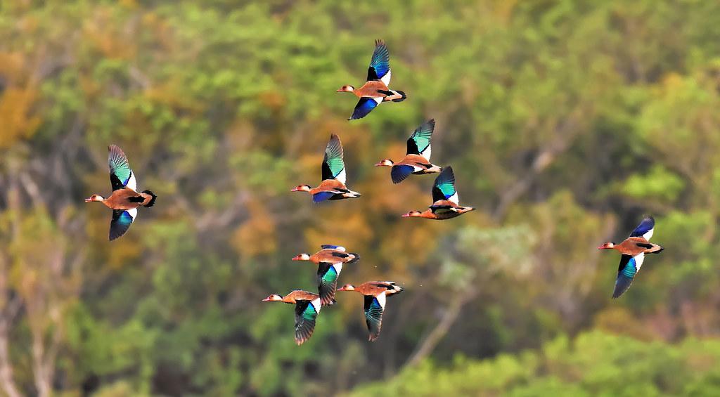 Nove patos/ Nine ducks