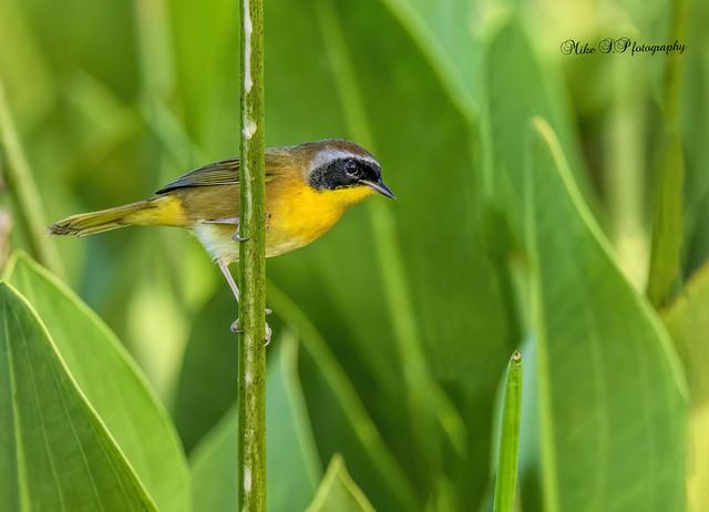 Common Yellowthroat,male
