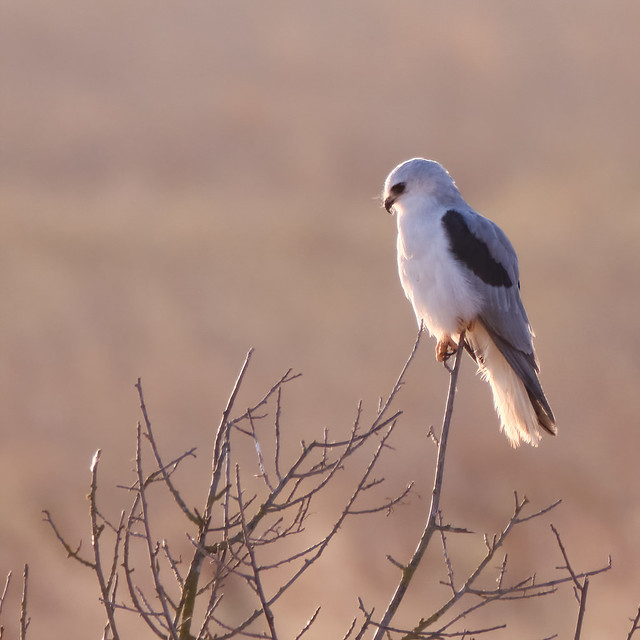 Perched: White-tailed Kite