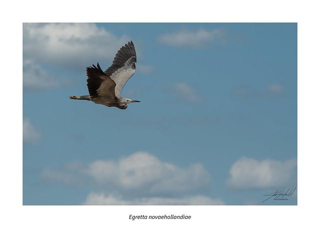 White-faced Heron