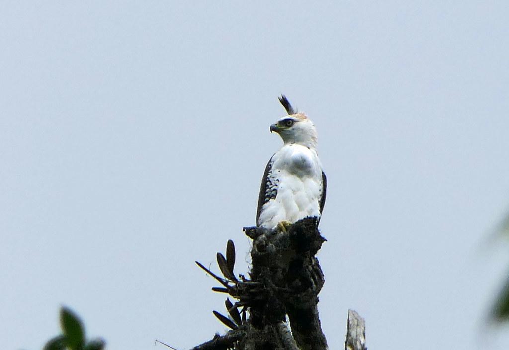 Águila Coronada, Ornate Hawk-Eagle (Spizaetus ornatus)
